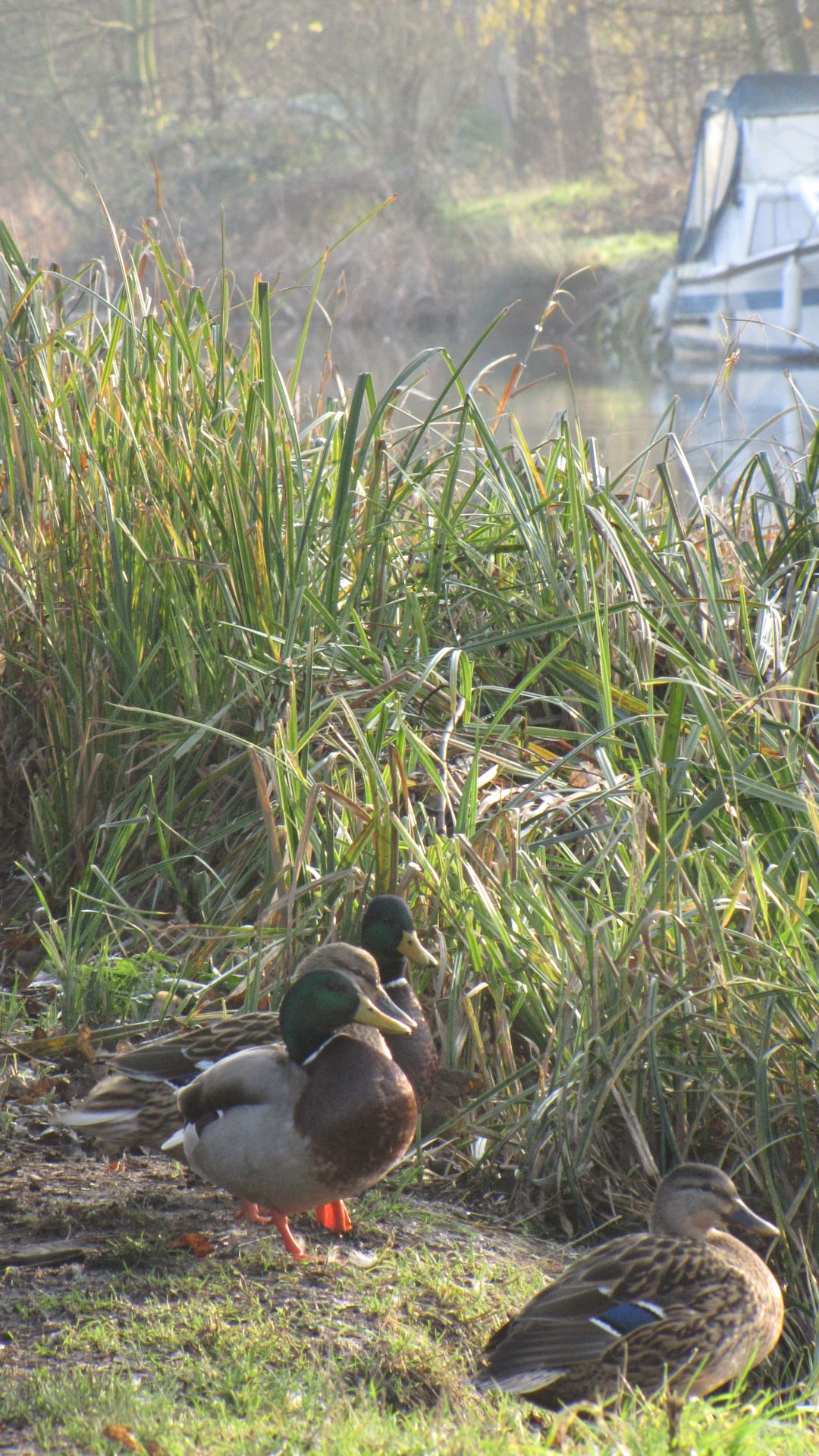 Nr Heybridge Basin, Essex, UK - Ducks by the canal