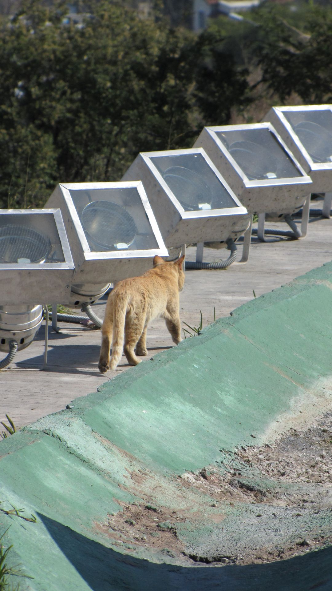 Monterrey, NL, Mexico - IS IT A COUGAR???!!!! Er, no, its a domestic cat