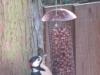 Heybridge Basin, Essex, UK - Woodpecker feeding