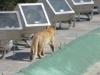 Monterrey, NL, Mexico - IS IT A COUGAR???!!!! Er, no, its a domestic cat