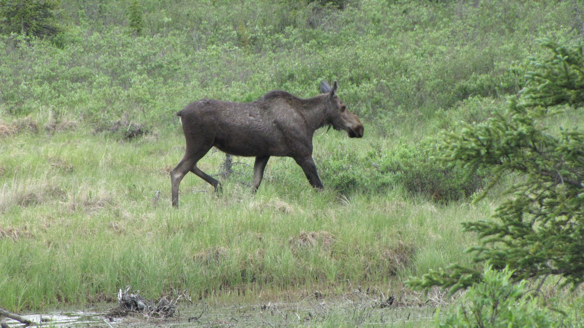 Denali Highway - Mousse?  Moose?  Mouse?