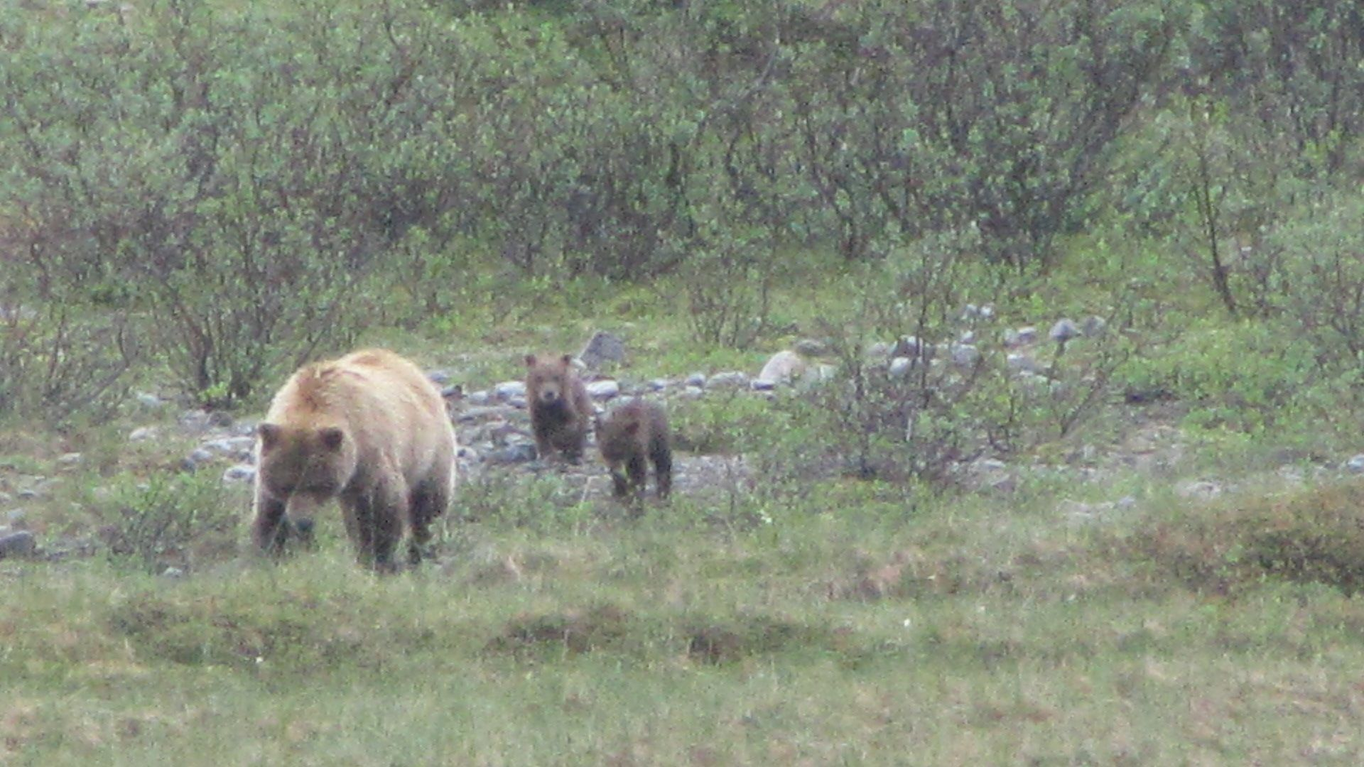 Denali Nat Pk - Oh I see, showing off with TWO cubs are we?  Right, get me 'Gentle Ben' we need to sire triplets