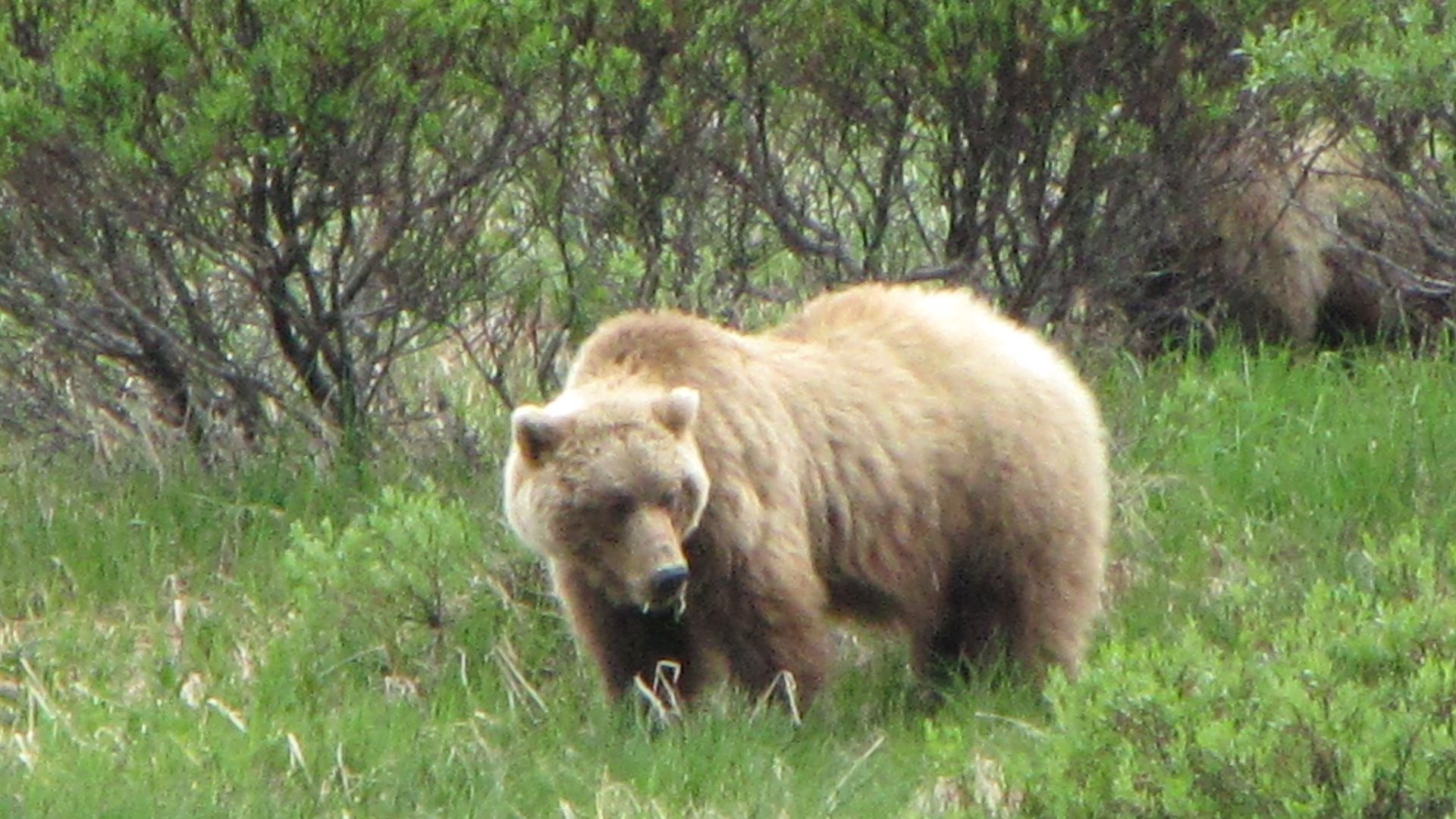 "Denali Nat Pk - ""Did someone say 'Gentle Ben'?  I LOVE Gentle Ben! He's a bear's bear!"""