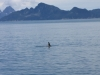 Seward Glacier Cruise - ITS AN ORCA (ok, small I know but it really is)