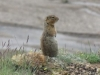 Denali Nat Pk - Playing up for the cameras (Ground Squirrel)