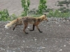 Denali Nat Pk - Fox, you are fantastic, Mr