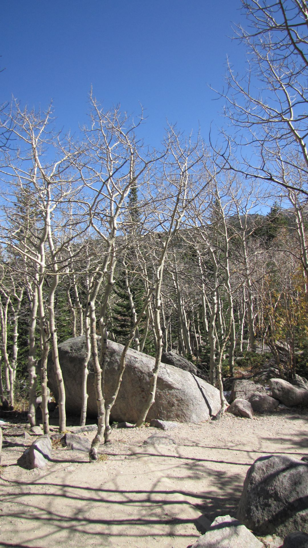 Nr Bear Lake, Rocky Mtn Nat Pk, CO, USA - Spooky trees
