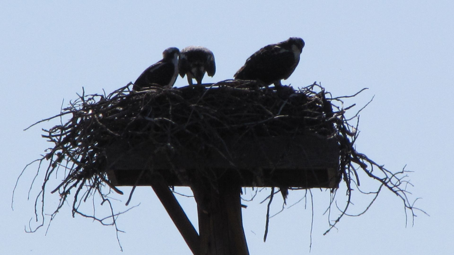 Nr West Yellowstone, MT, USA - Hawks\' nest (those look a bit big to be babies don\'t they?  Kids! They\'re all the same, think you\'ve got rid of them and they\'re back, treating this nest like a hotel!)
