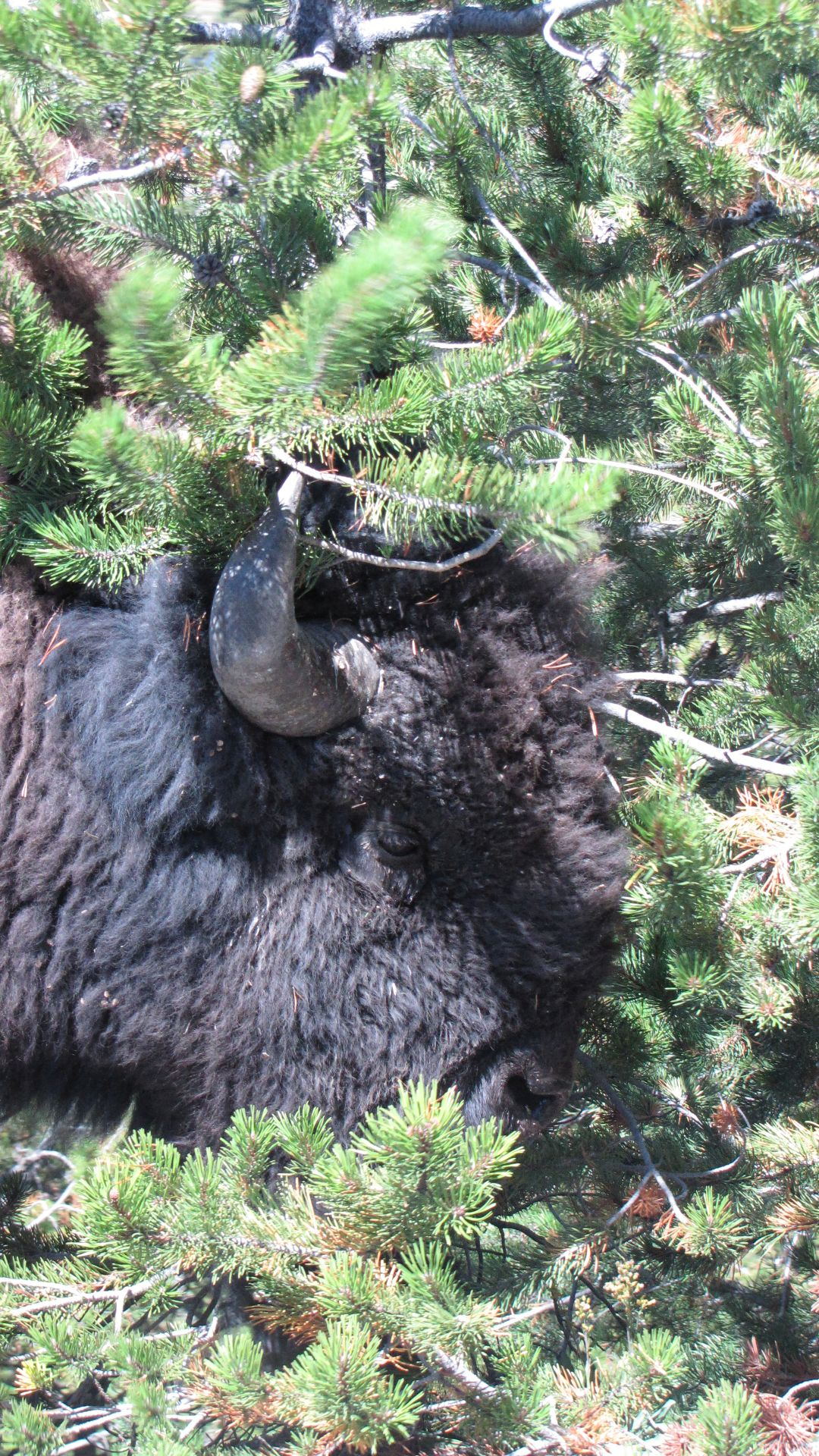 Yellowstone Nat Pk, WY, USA - Bison in \'tree-perm\' catastrophe