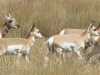 Nr Laramie, WY, USA - Pronghorn Antelopes en masse