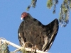 "Laramie, WY, USA - ""And I says to `im, I says, `It was THIS BIG!`  Oh how we all squawked!!"" (its a `Turkey Vulture` apparently & there were dozens of them up a tree in a residential street!  Ok, ok birdists, they don`t actually squawk but `how we all hissed` wouldn`t sound the same would it?)"