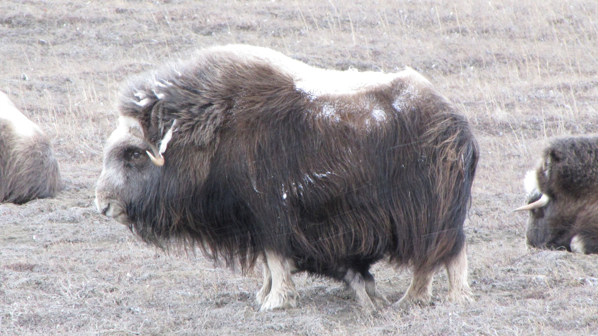 Mummy Musk Ox giving little one a feed