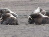 Musk Ox chilling, North Slope, Arctic - Down with the homies