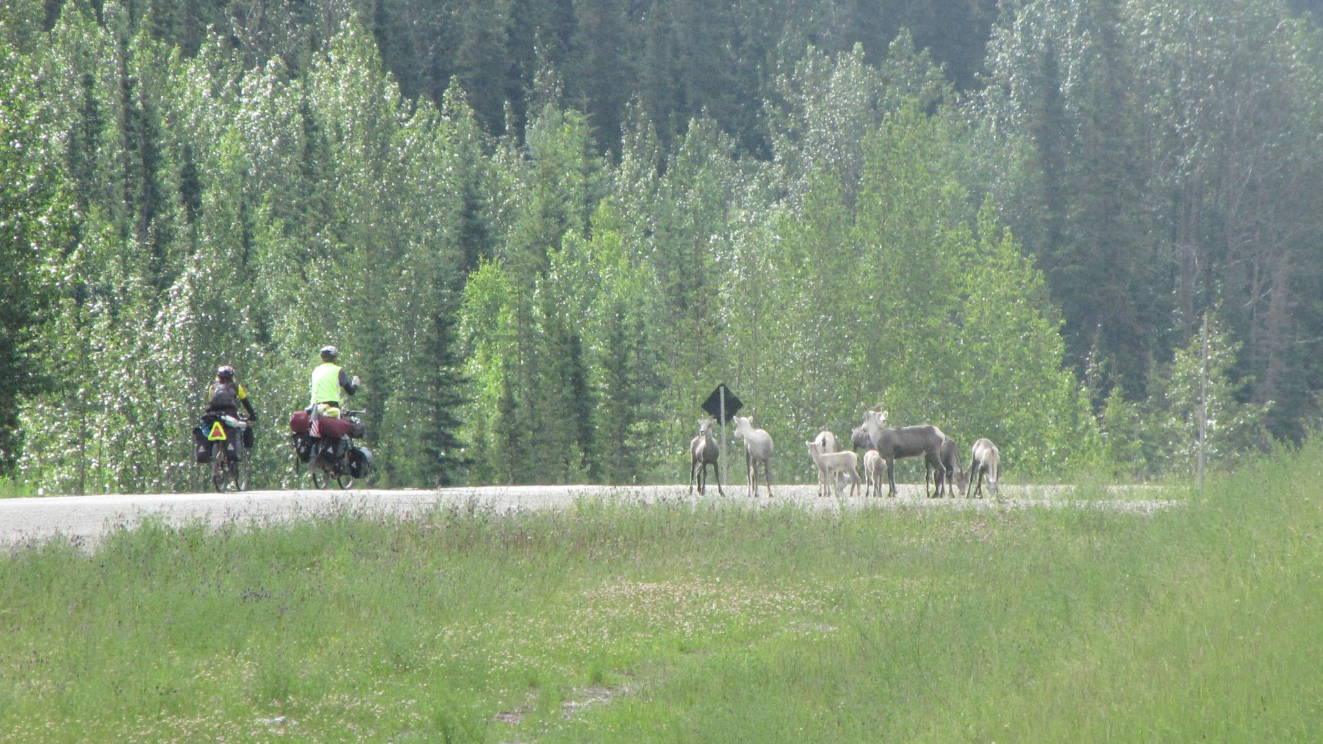 Nr Toad River, YT, Canada - Ward & Jacky attempt the famous \'sheep flank\' manoeuvre