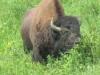 Hello Bison