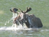 Toad River, YT, Canada - Daddy Moose