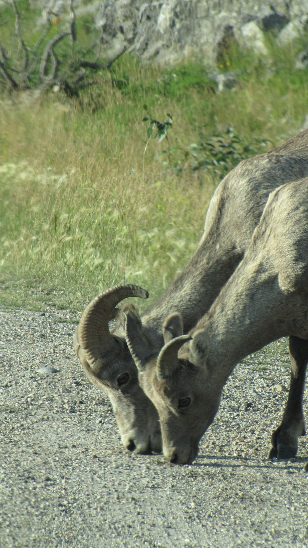 Nr Jasper, Alberta, Canada - Big Horn Sheep fall for the velcro-ear gag