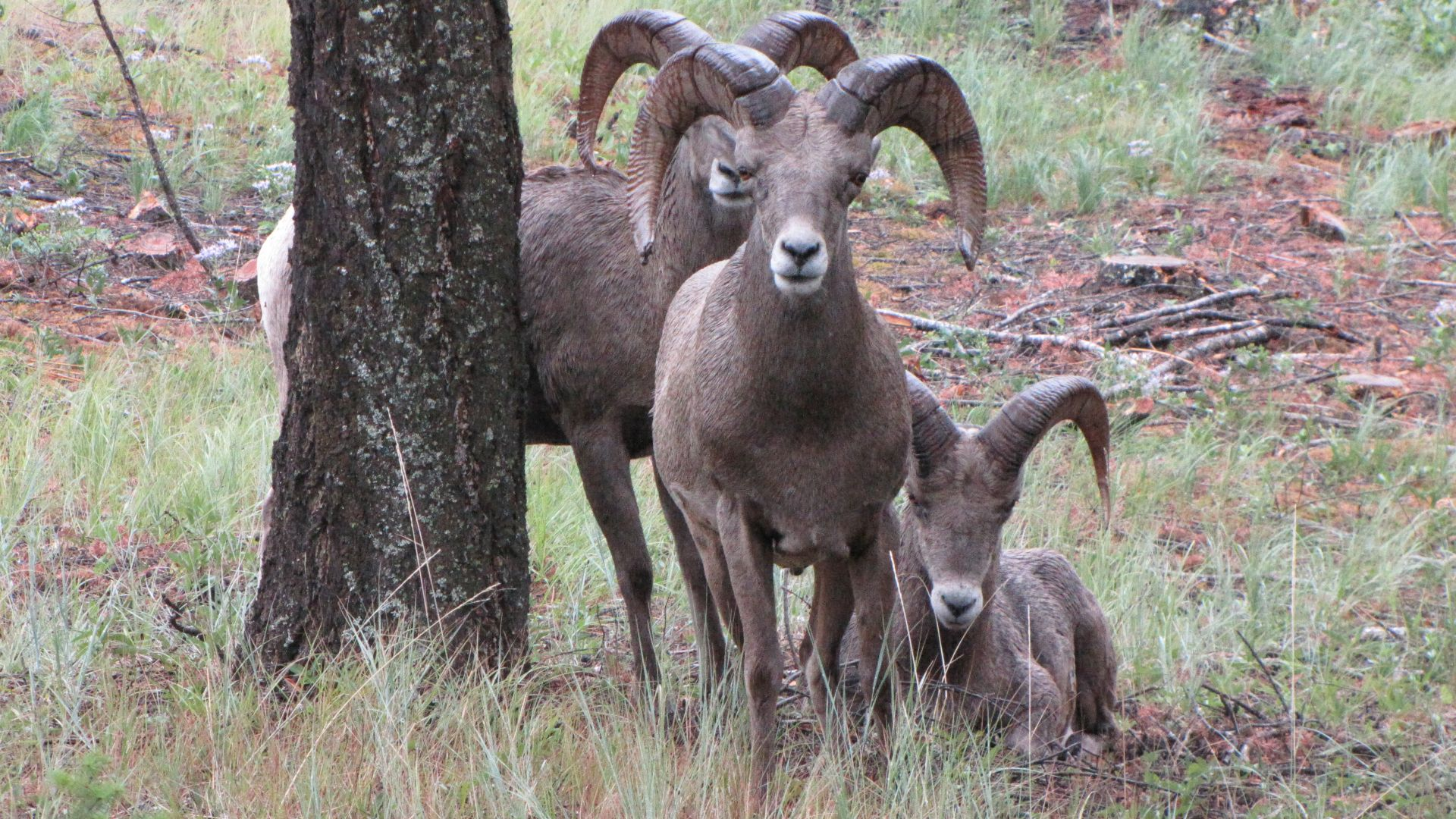 Kootenay Nat Pk, BC, Canada - These chaps & chapesses were right next to the campsite (Big Horn Sheep)
