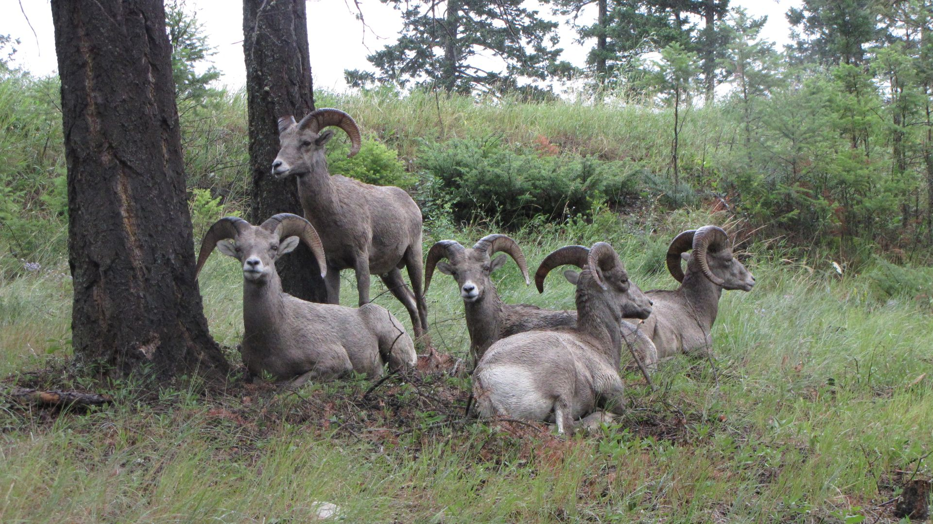 Kootenay Nat Pk, BC, Canada - Back row: \'Dopey\'; Middle Row from L to R: \'I\'ve got your number\', \'Do you eat sheep?\', \'Bored\'; Front Row: \'Indifferent\'
