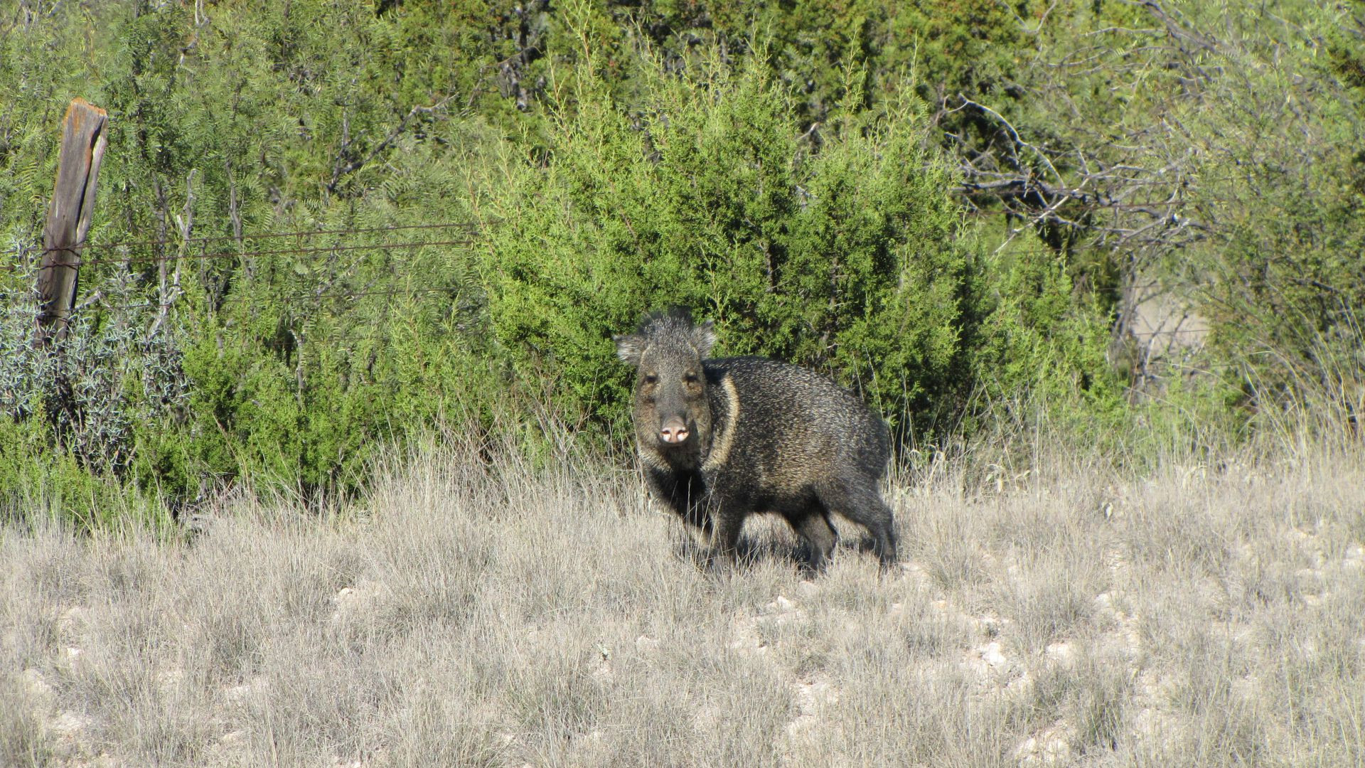 Nr Sanderson, TX, USA - this chap gave the distinct impression that he was going to charge until I rode off (he was protecting his family who are in the bushes - they're 'Javelinas')