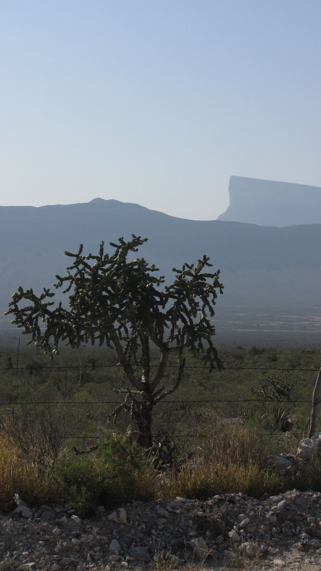 Nr Mina, NL, Mexico - Cactus 'tree' with huge (maybe 5 miles long) table mountain in background
