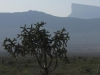 "Nr Mina, NL, Mexico - Cactus ""tree"" with huge (maybe 5 miles long) table mountain in background"